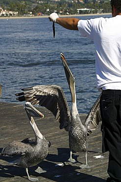Lot of anglers share their catch with the pelicans Santa Barbara California United States of America USA