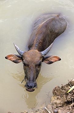 Water Buffalo (Bubalus bubalis), Mekong Delta, Vietnam, Asia