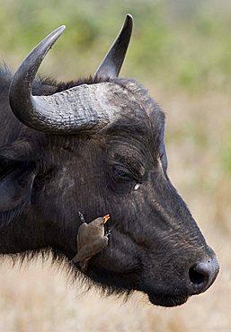 African Buffalo (Syncerus caffer) and Yellow-billed Oxpecker (Buphagus africanus), Masai Mara, Kenya, Africa