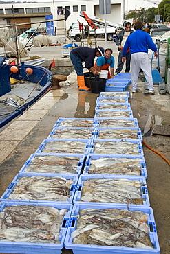 Fishermen reload octupus in boxes, Peniscola, Costa Azahar, Spanien, Europa