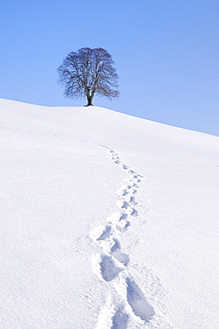 Footprints in the snow, Linden or Lime Tree (Tilia) on a hill, wintertime, Hirzel, Zurich, Switzerland, Europe