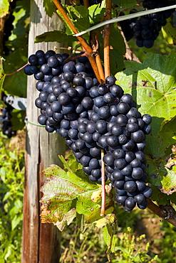Red Grapes, Ahrtal Valley, Eifel Range, Rhineland-Palatinate, Germany, Europe
