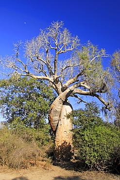 Baobab tree (Adansonia grandidieri renala), Morondava, Madagascar, Africa