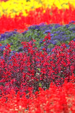 Colourful flowerbed planted with various summer flowers, Cardinal Flower (Lobelia fulgens), Scarlet Sage or Tropical Sage (Salvia splendens), Flossflower or Bluemink (Ageratum houstonianum)