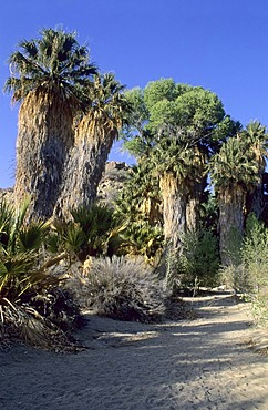 Palm trees at Cottonwood Canyon, Joshua Tree National Park, California, USA