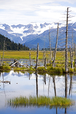 Dead wood in swamp, Kenai, Peninsula, Alaska, USA