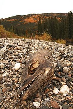 Dried salmon head on gravel bank with fall foliage at the back, Big Salmon River, Yukon Territory, Canada