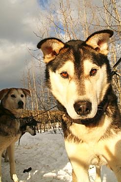 Sunlit portrait of a sled dog, Yukon Territory, Canada