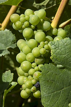 Pinot Noir grapes, used for Champagne production, Champagne, France, Europe