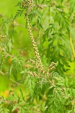 Common Ragweed, Ambrosia artemisiifolia
