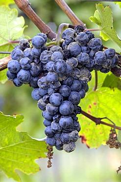 Austria Burgenland - winegrowing Grapes with Botrytis - mildew