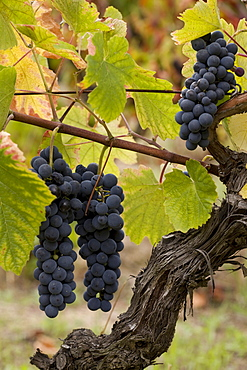 Touriga Nacional grapes, Carregal do Sal, Dao, Portugal, Europe