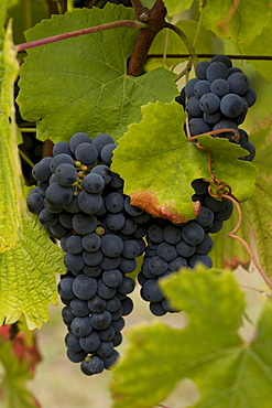 Blue grape variety, Quinta dos Roques winery, Cunha Baixa, Dao, Centro region, Portugal, Europe