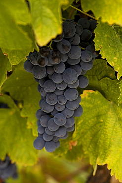 Quinta de Calabria vineyard, cultivation of Touriga Francesa grapes, belonging to the oenologist Rui Madeira from the CARM and VDS wineries, Douro superior area, North Portugal, Portugal, Europe