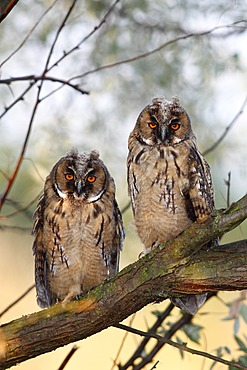Long-eared Owl (Asio otus), two young fledglings, branchlings sitting on a tree branch, Apetlon, Lake Neusiedl, Burgenland, Austria, Europe