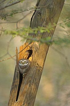 Spotted Owlet (Athene brama), Ranthambore National Park, Rajasthan, India, Asia