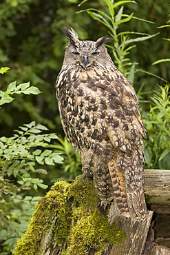 Eurasian eagle owl (Bubo bubo), portrait