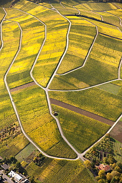 Aerial view, autumnal vineyards in the Moselle valley on the Luxembourg side, Wellenstein, Luxembourg, Europe