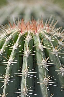 Cactus, Cactaceae (Pachycereus pringlei)