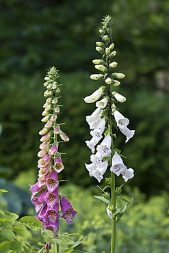 Common Foxgloves, white and purple (Digitalis purpurea)