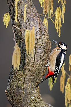 Great Spotted Woodpecker (Dendrocopos major) sitting on hazel (Corylus avellana), surrounded by male catkins, Biosphaerengebiet Schwaebische Alb UNESCO Biosphere Reserve, Baden-Wuerttemberg, Germany, Europe