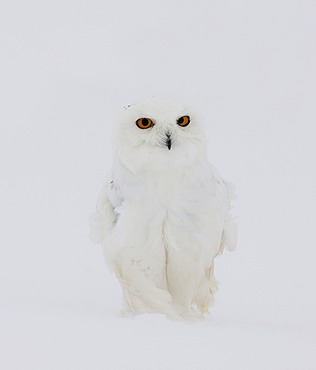 Snowy Owl (Bubo scandiacus), male in a snowstorm, Finnish Lapland, Finland, Scandinavia, Europe