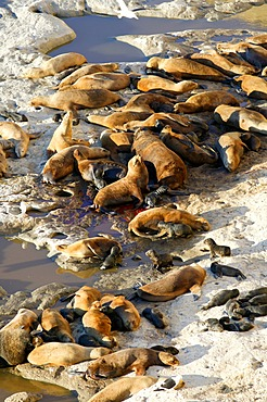 South American sea lions (Otaria flavescens), Peninsula Valdes, Chubut province, Patagonia, Argentina, South America