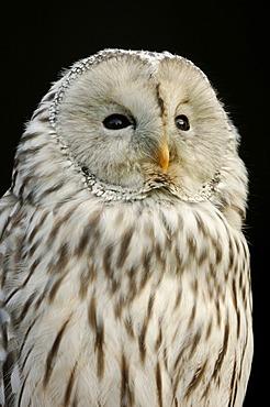 Ural Owl (Strix uralensis), portrait, captive, North Rhine-Westphalia, Germany, Europe