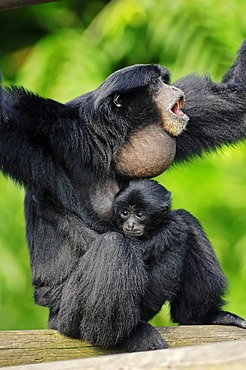 Siamang (Symphalangus syndactylus, Hylobates syndactylus), calling female with young, native of Asia, in captivity, Czech Republic, Europe