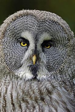 Eurasian Great Grey Owl (Strix nebulosa lapponica), native to Europe and Asia, in captivity, North Rhine-Westphalia, Germany, Europe