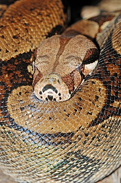Boa Constrictor (Boa constrictor), native to in South America, in captivity, North Rhine-Westphalia, Germany, Europe