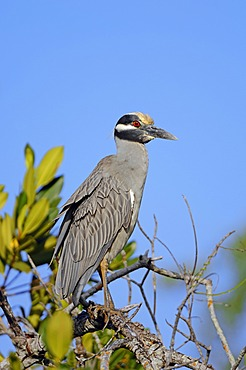 Yellow-crowned Night Heron (Nyctanassa violacea, Nycticorax violaceus), Sanibel Island, Florida, USA