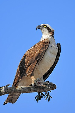 Osprey (Pandion haliaetus), with fish in its talons on perch, Everglades National Park, Florida, USA