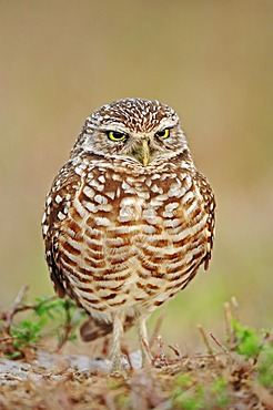 Burrowing Owl (Speotyto cunicularia, Athene cunicularia), Florida, USA