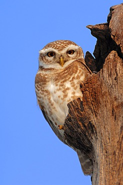 Spotted Owlet (Athene brama), Keoladeo Ghana National Park, Rajasthan, India, Asia
