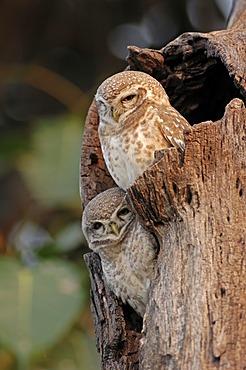 Spotted Owlets (Athene brama), pair, Keoladeo Ghana National Park, Rajasthan, India, Asia