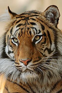 Sumatran tiger (Panthera tigris sumatrae), portrait, occurrence in Sumatra, Indonesia, captive, Germany
