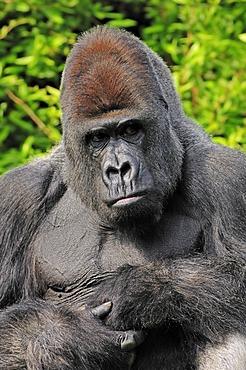 Western Lowland Gorilla (Gorilla gorilla gorilla), male, silverback, African species, captive, North Rhine-Westphalia, Germany, Europe