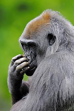 Western Lowland Gorilla (Gorilla gorilla gorilla), female, African species, captive, North Rhine-Westphalia, Germany, Europe
