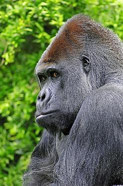 Western Lowland Gorilla (Gorilla gorilla gorilla), male, silverback, portrait, African species, captive, North Rhine-Westphalia, Germany, Europe