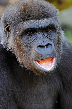 Western Lowland Gorilla (Gorilla gorilla gorilla), portrait, African species, captive, Florida, USA