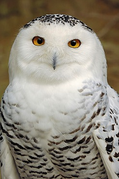 Snowy owl (Bubo scandiacus, Bubo scandiaca, Nyctea scandiaca), male, portrait, native to northern Europe, Siberia, Greenland and North America, captive, North Rhine-Westphalia, Germany, Europe
