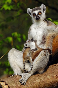 Ring-tailed lemur (Lemur catta), female with infant, found in Madagascar, captive, Germany, Europe