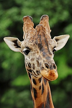 Rothschild giraffe (Giraffa camelopardalis rothschildi), portrait, found in Africa, captive, France, Europe