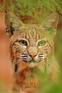 Bobcat (Lynx rufus, Felis rufa), portrait, captive, Florida, USA