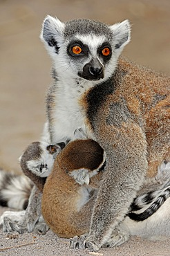 Ring-tailed lemur (Lemur catta), female with young, Madagascar, Africa
