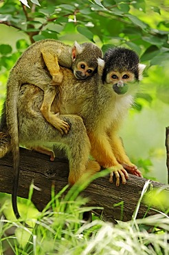 Black-capped squirrel monkey (Saimiri boliviensis), female with young, occurrence in Brazil and Bolivia, captive, Germany, Europe