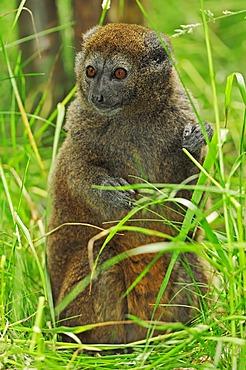 Lac Alaotra bamboo lemur or Lac Alaotra gentle lemur (Hapalemur alaotrensis), Madagascar, Africa