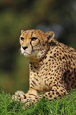 Cheetah (Acinonyx jubatus), from Africa, captive, Netherlands, Europe