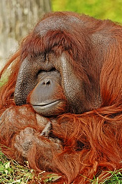 Bornean orangutan (Pongo pygmaeus), male, found in Borneo, Asia, captive, Germany, Europe